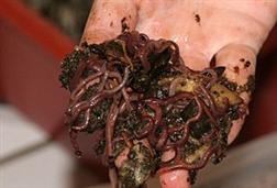 Red Wiggler Worms used in vermicomposting