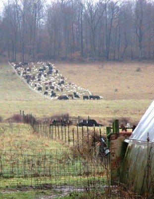 Mob Grazing at Fox Hollow Farm